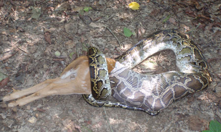 Pythons Eating Deer